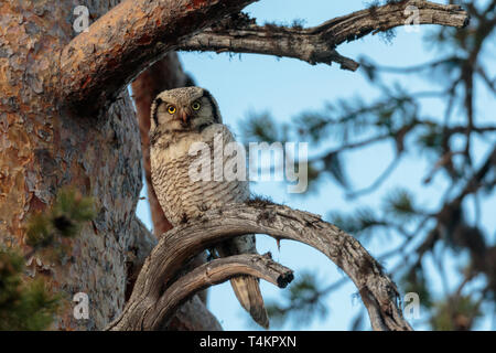 Northern hawk-owl, Surnia ulula, sitting in a pine tree looking in to the camera, Gällivare county, Swedish Lapland, Sweden - Stock Image
