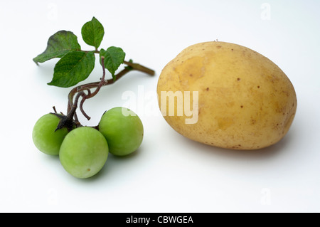 Potato (Solanum tuberosum). Twig with small green fruit and edible tuber. Studio picture against a white background - Stock Image