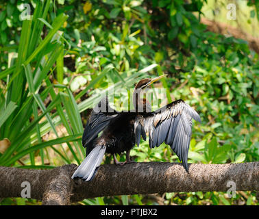 Darter or snakebird (Anhingidae) sitting on a branch drying its wings after diving for fish in the Yellow Water  Billabong, Kakadu, Northern Territory - Stock Image