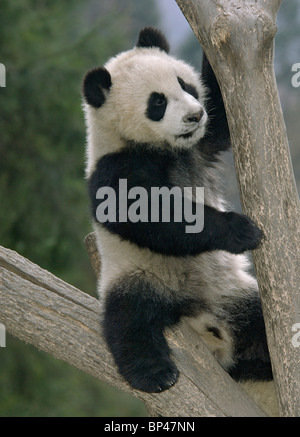 Young giant panda cub play in fork of tree Wolong China - Stock Image