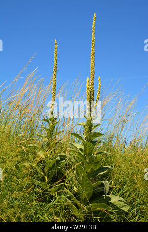 velvet plant or verbascum with closed flowers front view, great mullein or common mullein or verbascum in front of azure sky as rural backdrop - Stock Image