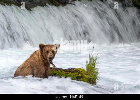 Brown Bear waiting for salmon by the river stream, Brooks river, Katmai National Park, Alaska - Stock Image