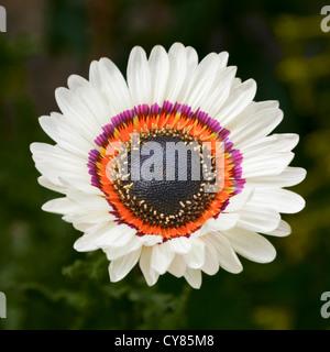 Chrysanthemum carinatum ,painted daisy - Stock Image