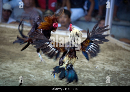 Two fighting cocks square off at a cockhouse near Mansalay ,Oriental Mindoro, Philippines. - Stock Image