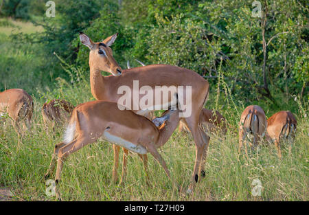 Baby impala feeding off it's mother in grassing green surrounding.  Other females seen in background - Stock Image