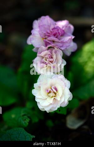 Primula vulgaris Belarina Pink Ice, primrose,primroses,pink,white,double,flower,flowers,flowering,shade,shady,shaded,garden,spring,RM Floral - Stock Image