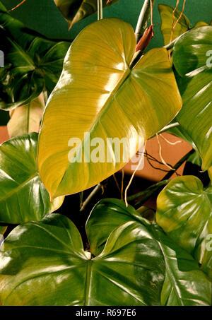 Pilodendran house plant still life - Stock Image