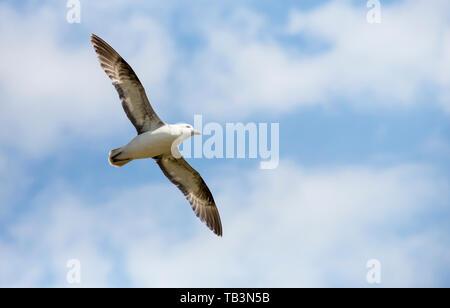 Northern Fulmar, Fulmarus glacialis, flying off the Farne Islands, Northumberland, UK. - Stock Image