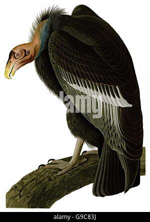 California Condor, Gymnogyps Californianus, birds, 1827 - 1838 - Stock Image