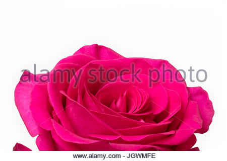 Big Pink Rose White Background - Stock Image