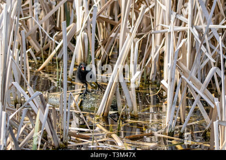 Young moorhen duckling stretching a leg and standing amongst marsh reeds on a floating wooden log - Stock Image