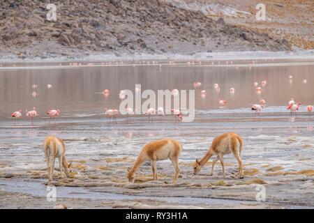 Argentina, Catamarca province, Laguna Grande near El Penon is part of Laguna Blanca reserve listed as Reserve Biosphere by UNESCO, Vicu?a, Vicugna (Vicugna vicugna) and James's flamingo (Phoenicoparrus jamesi) - Stock Image