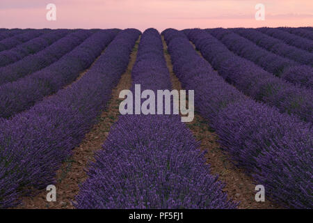 a lavender field in the evening sun in Provence, France - Stock Image