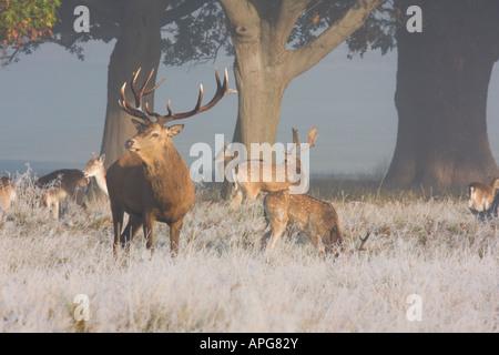 Red deer Richmond Park London England UK - Stock Image