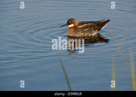 Red-necked phalarope (Phalaropus lobatus) in breeding plumage adult on water wetlands Southern Iceland Europe - Stock Image
