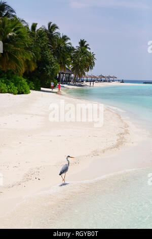 Maldives beach - a heron on the beach, Veligandu Island, Rasdhoo atoll, the Maldives, Asia - Stock Image