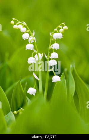 White lilies of the valley, small spring flowers - Stock Image
