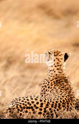Rear view of an adult Cheetah, Acinonyx  jubatus, Lying down, Looking for prey, Masai Mara National Reserve, Kenya, - Stock Image