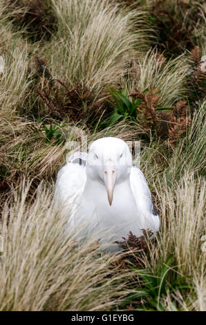 Southern royal albatross (Diomedea epomophora) on nest at Campbell island New Zealand - Stock Image