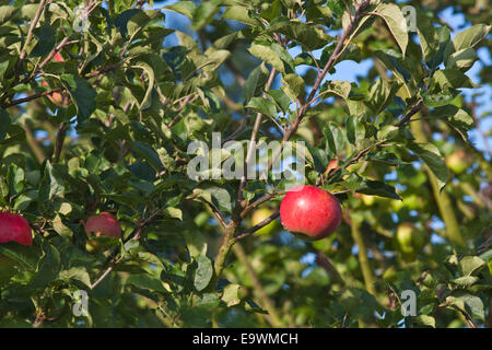 A single red apple ripening on a branch in an orchard. - Stock Image