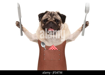 smiling pug dog wearing leather barbecue apron, holding up cutlery for eating meal, isolated on white background - Stock Image