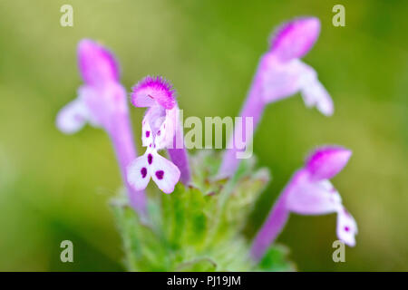 Henbit Deadnettle (lamium amplexicaule), close up of a single flower out of many. - Stock Image