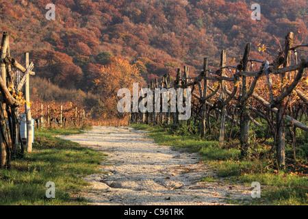 Vineyard in autumn, Trentino region, Italy - Stock Image