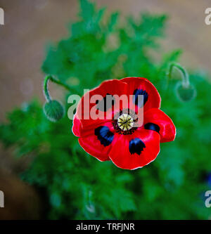 Poppy Flower Head - Stock Image