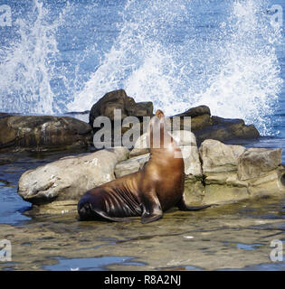 A Sea Lion on the rocks with the waves of the ocean splashing on the California Coast - Stock Image