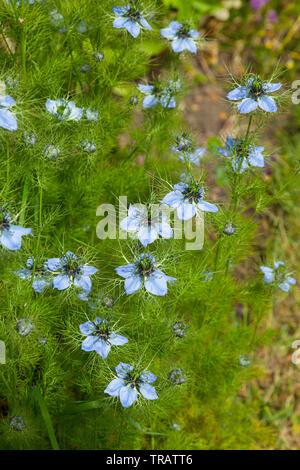 Nigella flowers - Stock Image