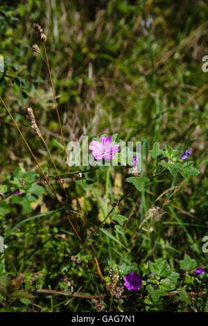 Common Mallow in flower by a footpath  near Castle Acre near King's Lynn Norfolk England - Stock Image