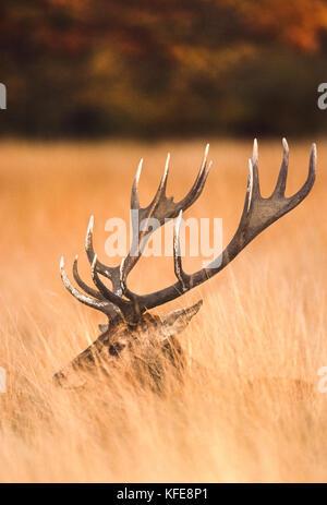 Red Deer stag in autumn, (Cervus elaphus), Richmond Park, London, United Kingdom - Stock Image