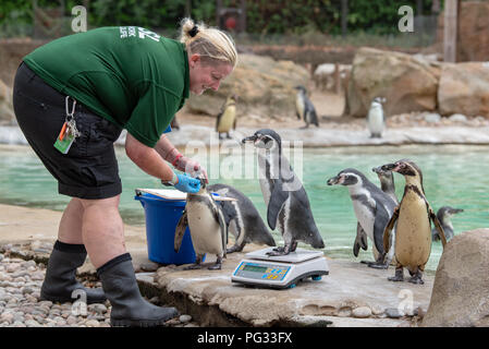 London, United Kingdom. 23 August 2018. Annual weigh-in records animals' vital statistics at ZSL London Zoo. Credit: Peter Manning/Alamy Live News - Stock Image