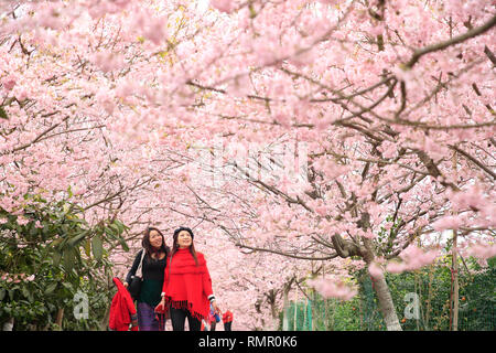 Chongqing, China Chongqing, China. ChongqingChongqing. ChongqingChongqing, China. 16th Feb, 2019. Visitors view cherry blossoms in Beibei District of Chongqing, southwest China, Feb. 16, 2019. Credit: Qin Tingfu/Xinhua/Alamy Live News - Stock Image