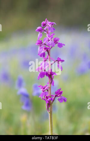 Early Purple Orchid (Orchis mascula) with dappled blue background formed by bluebells - Stock Image