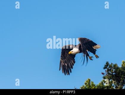 A Bald eagle (Haliaeetus leucocephalus) flies in a blue sky on the Oregon Coast; Hammond, Oregon, United States of America - Stock Image