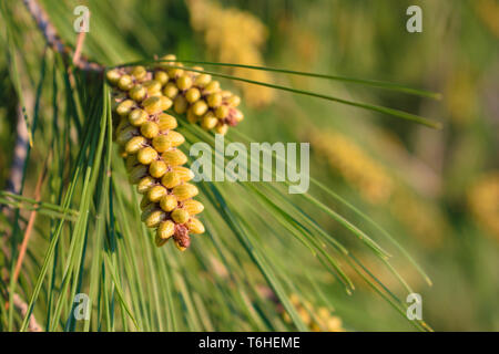 Pinus halepensis (common pine) male cones close up at spring ready to cast pollen - Stock Image