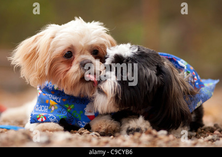 A Shih-Tzu puppy gives it's litter mate a kiss. - Stock Image