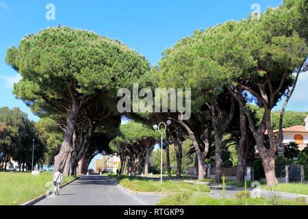 Pine alley, Sabaudia, Lazio, Italy - Stock Image