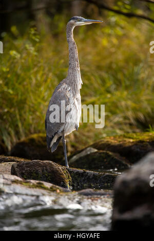 A Great Blue Heron waits for fish on the Connecticut River in Pittsburg, New Hampshire.  Below First Connecticut - Stock Image