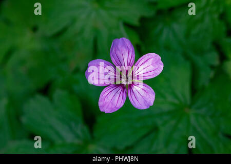 Overhead capture of a single pink purple Tuberous Cranesbill (Geranium tuberosum) - Stock Image