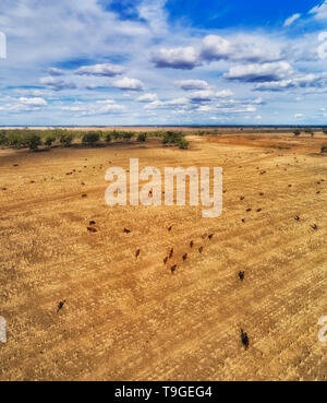 FLat plain of harversted farmlands around Moree town with feeding cattle under blue sky in aerial elevated vertical view over bulls and cows. - Stock Image