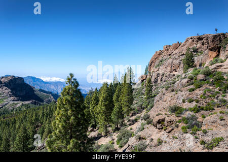 Canary Island pine forest, Pinus canariensis, in Nublo Rural Park, in the interior of the Gran Canaria Island, Canary Islands, Spain. - Stock Image