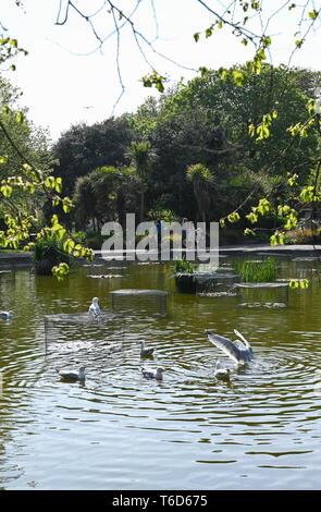 Herring Gull seagulls enjoying the pond in Queens Park Brighton  Brighton UK - Stock Image
