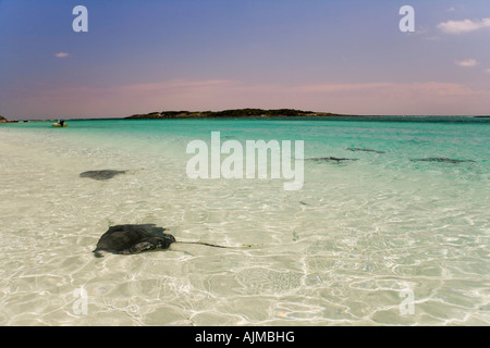 Sting rays and sharks in the water at Ship Channel Cay Exumas Bahamas - Stock Image