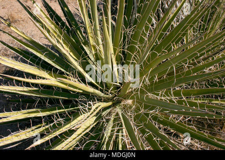 Nolina Beargrass Hidden Valley Landscape Mojave Desert Joshua Tree National Park California - Stock Image