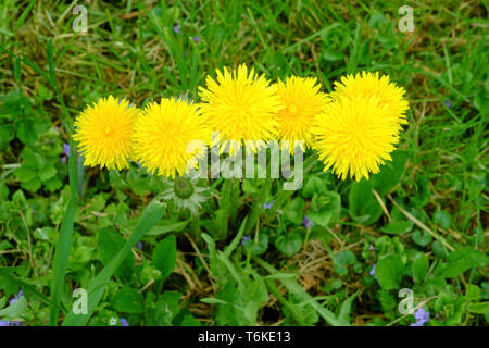 bright yellow dandelions taraxacum officinale growing in a rural garden zala county hungary - Stock Image