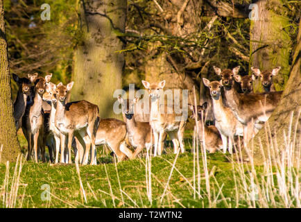 Fallow Deer (Dama dama) in the woods of Holkham park, Holkham hall in North Norfolk, East Anglia, England, UK - Stock Image
