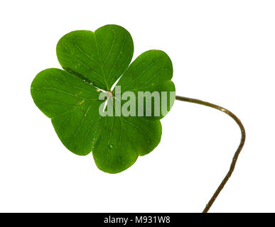 Natural and irregular shamrock, or four leaf clover, and stem isolated over a white background. - Stock Image