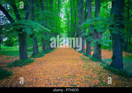 Yellow leaves in the tree alley - Stock Image